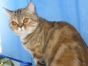 Продам породистую кошку в связи с выездом.