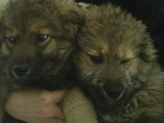 очаровательные щенки- мальчики